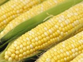 Việt Nam sẽ có thực phẩm biến đổi gen năng suất cao