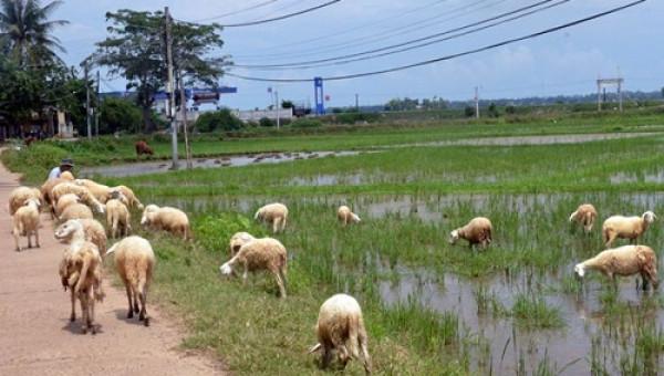 Lựa chọn thông minh của chàng trai xứ Quảng: Nuôi cừu độc nhất