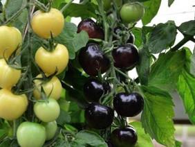 Vườn cà chua đen quả trĩu trịt bạc tỷ của ông chủ trẻ