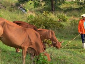 Xã Đăk Môn: xây dựng NTM với con bò