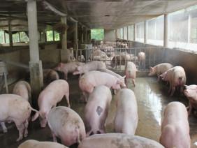 Nhờ nuôi lợn....thành ông chủ tỷ phú