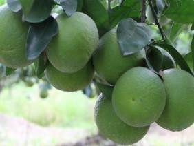 Trồng cây đặc sản cam xoàn sạch cạnh tranh với cam nhập ngoại