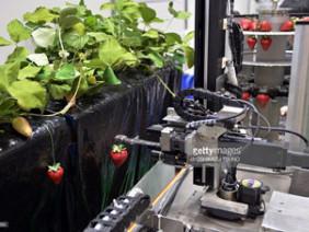 Robot giúp nông dân hái dâu