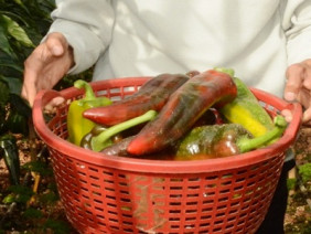 Kĩ thuật trồng ớt ngọt sừng bò cho trái to và thu nhập cao