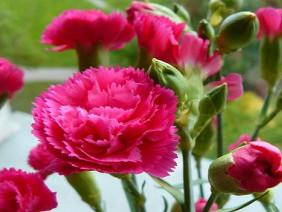 Trồng hoa cẩm chướng nông dân làm giàu