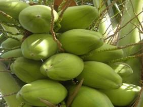 Thay áo cho vườn dừa giúp năng suất tăng trên 10%