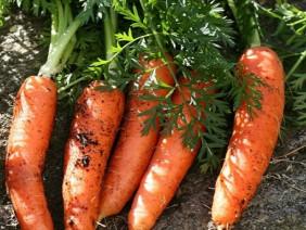 Tự trồng cà rốt mini tại nhà sạch sẽ thơm ngon