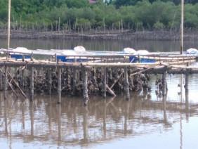 Huyện đảo Cát Hải phát triển nghề mới: Nuôi hà treo dây