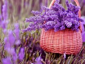 Trồng hoa oải hương không khó cho hoa đẹp như tranh ngay tại nhà