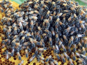 Bất ngờ gặp tổ ong rú cách mặt đất chỉ 2 gang tay