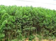 Mạnh dạn trồng keo rừng làm giàu