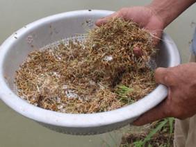 Nuôi cá thịt nhàn từ nông phẩm thiên nhiên