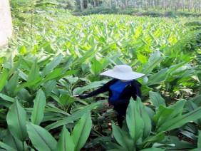 Nông dân Nghệ An nâng cao nguồn thu nhập từ trồng nghệ đen