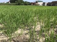 Về nơi trồng lúa trên cát, không ra hạt cũng... chẳng sao