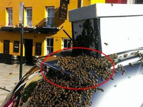 20.000 con ong thợ đuổi theo ô tô suốt 2 ngày vì một lý do đặc biệt