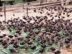 Dưới thác Sao Va cho nguồn thu 'khủng' từ nuôi vịt trời