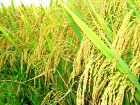 Cách bón phân cho cây lúa mang lại năng suất cao
