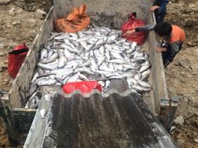 Gần 8 tấn cá hồi Sa Pa chết trắng, thiệt hại tiền tỷ, nhiều nghi vấn bị đầu độc