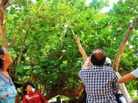 Vườn tra hàng chục năm tuổi được dân làng chài quý như báu vật