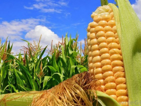Nông dân thử nghiệm giống ngô biến đổi gen: Vừa mừng vừa lo