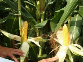 Bí quyết cho người trồng Giống Ngô Lai Siêu Ngọt Sugar 75 Của Mỹ