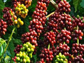Cách bón phân hiệu quả cho cây cà phê mùa khô