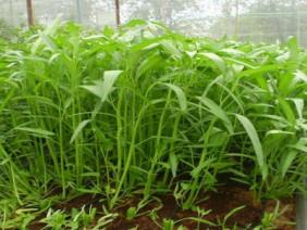 Cách trồng cây rau muống tươi sạch tại nhà cho thu hái quanh năm
