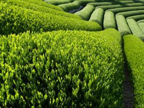 Kĩ thuật trồng và chăm sóc cây chè cho năng suất cao
