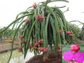 Mô hình trồng thanh long ruột tím (MAS): bí quyết tăng thu nhập