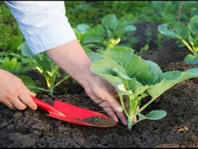 Sử dụng phân bón an toàn khi trồng rau sạch tại nhà