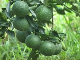 Điển hình trồng cam Sành cho năng suất cao