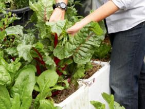 Những chiếc thùng xốp cực giúp bà con trồng rau sạch an toàn