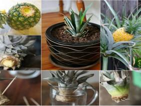Học cách trồng dứa tại nhà vừa cho quả thơm ngon vừa làm cảnh trang trí