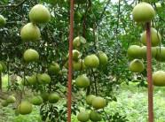 Bí quyết bón phân cho cây ăn quả hạn chế sâu bệnh hại