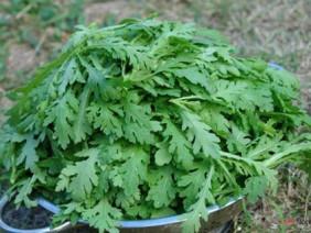 Bí quyết trồng rau cải cúc tại nhà