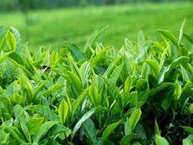 Người nông dân Yên Bài đổi mới mô hình chè sạch làm giàu
