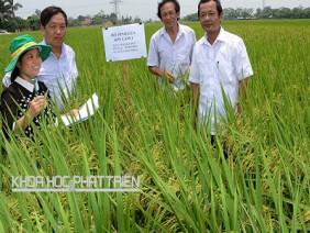 """Áp dụng phương pháp trồng lúa mới """"hiệu ứng hàng biên"""" cho năng suất cao"""