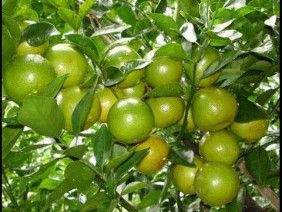 Bí quyết để trồng quýt đường cho năng suất cao