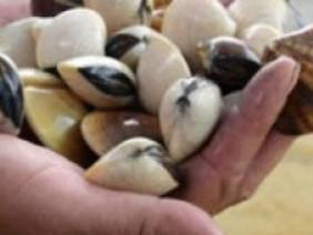 Ngao bãi triều Quỳnh Lưu nuôi thả tự nhiên béo mẩy