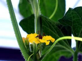 Huấn luyện ong thụ phấn dưa trong nhà lưới