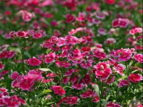 Tuyệt chiêu để trồng hoa cẩm chướng thành công