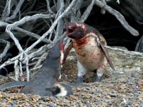 Vợ đi theo trai lạ, chim cánh cụt chồng đánh ghen đẫm máu