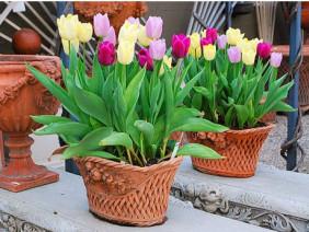 Bật mí để trồng hoa tulip tại gia nở đúng dịp tết