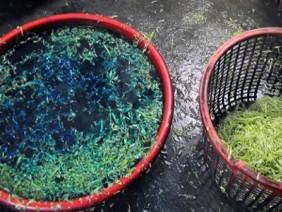 Rùng mình rau muống ngâm hóa chất, rau Trung Quốc mạo danh nông sản Đà Lạt