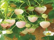 Mách nước cho những người thích trồng dâu tây dứa
