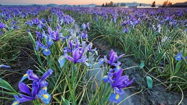 Kinh nghiệm bỏ túi cho người thích trồng hoa iris