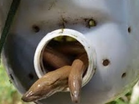 Độc lạ với mô hình nuôi thâm canh lươn đồng trong can nhựa
