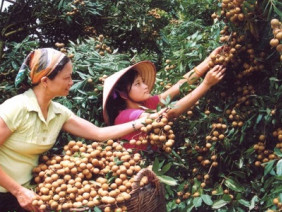 Kỹ thuật trồng cây nhãn lồng cho quả sai trĩu cành