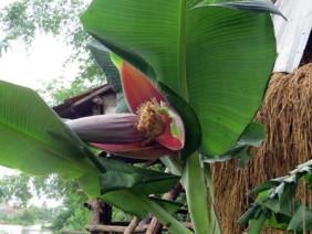Ngộ nghĩnh cây chuối hột mới 3 tháng tuổi, cao 1 mét đã đẻ buồng