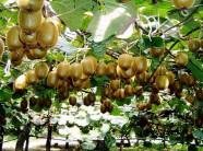 Đã mắt với giàn kiwi trồng tại nhà